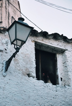 Gallinas se asoman por la ventana